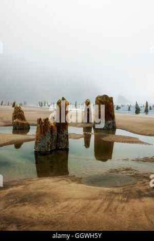 Lifting fog and minus low tide reveals the Ghost Forest at Neskowin on Oregon's north coastline. - Stock Photo