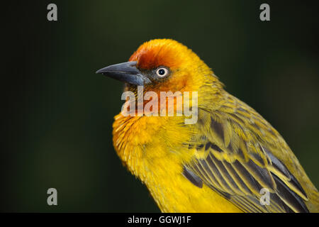 Portrait of a male Cape weaver (Ploceus capensis), South Africa - Stock Photo
