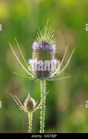 Common teasel (Dipsacus fullonum) flowers - Stock Photo