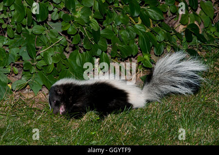 Superb ... Skunk In Backyard   Stock Photo