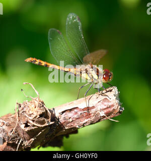 A beautiful Dragonfly with yellow, brown, black colors and large red eyes perched on a dead tree stump - Stock Photo