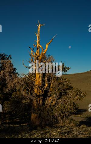Jun 14, 2014 - White Mountains, California, U.S. - The moonsets as the sun rises over the Bristlecone Pine Forest. - Stock Photo