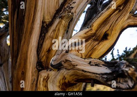 Jun 14, 2014 - White Mountains, California, U.S. - The bark of a bristlecone pine at sunrise in the Bristlecone - Stock Photo