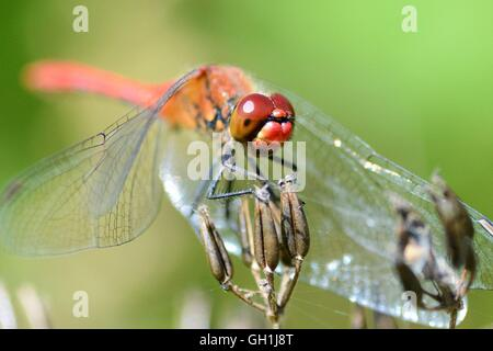 Red dragonfly pauses on a flower - Stock Photo