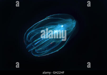 Sea Walnut, American comb jelly, Warty comb jelly or Leidy's comb jelly (Mnemiopsis leidyi) Black Sea - Stock Photo