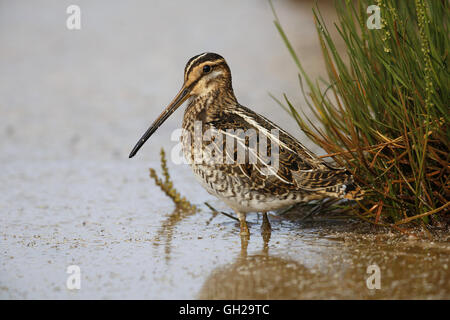 Common Snipe, Gallinago gallinago, at marshy pool - Stock Photo