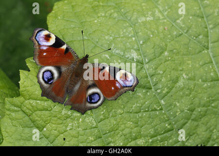 Peacock Butterfly, Aglais (Inachis) io - Stock Photo