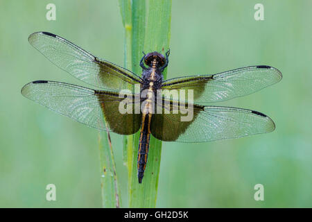 Widow Skimmer dragonfly (Libellula luctuosa), female resting on grass, Eastern USA - Stock Photo