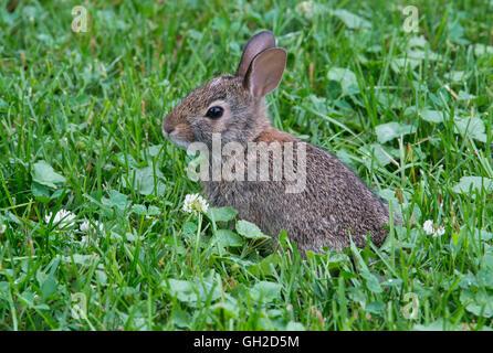 Young Eastern Cottontail Rabbit (Sylvilagus floridanus) feeding on clover Eastern USA - Stock Photo