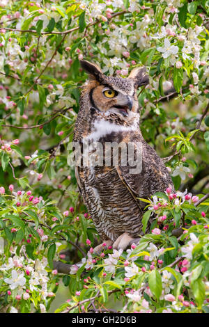 Great Horned Owl ( Bubo virginianus ) sitting in blooming Apple Tree (Malus domestica), North America - Stock Photo