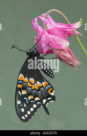 E Black Swallowtail Butterfly (Papilio polyxenes) nectaring garden variety of Columbine, Eastern North America - Stock Photo