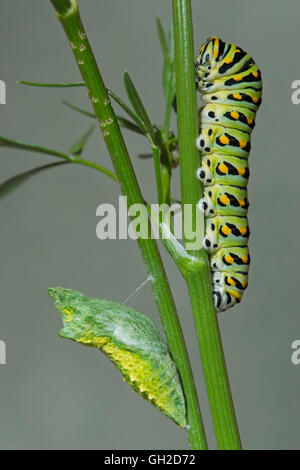 E Black Swallowtail Butterfly (Papilio polyxenes) Caterpillar and early Pupa (Chrysalis) stages, Eastern North America - Stock Photo
