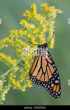 Monarch Butterfly (Danaus plexippus) on Goldenrod (Solidago sps), late Summer, early Fall, E USA, by Skip Moody/Dembinsky - Stock Photo