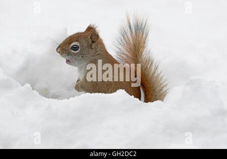 Eastern Red Squirrel hunting for food (Tamiasciurus or Sciurus hudsonicus), Winter, E North America - Stock Photo