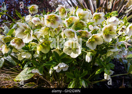White Christmas Rose (Helleborus) flowering plant in a garden. - Stock Photo