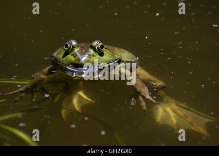 Bull frog in pond up close - Stock Photo