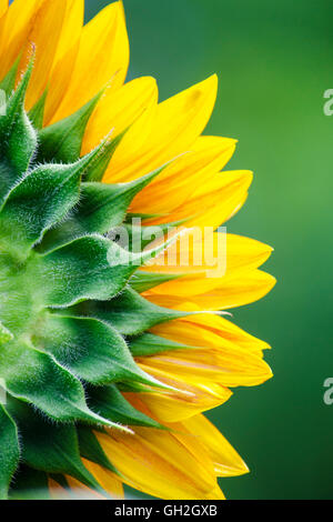 Sunflower petals close up detail - Stock Photo