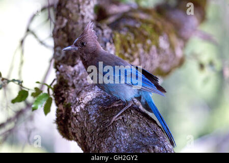 A blue jay perched on a branch in Yosemite National Park - Stock Photo