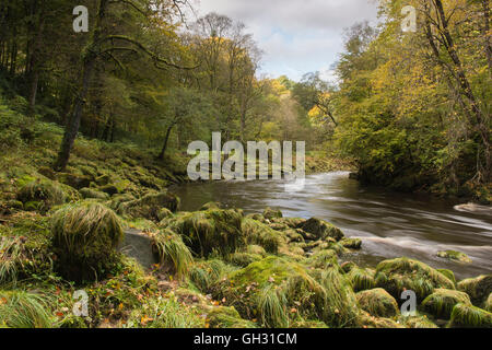 Autumnal scenic Strid Wood (ancient woodland) & rocky, mossy banks of smooth, flowing River Wharfe - Bolton Abbey - Stock Photo