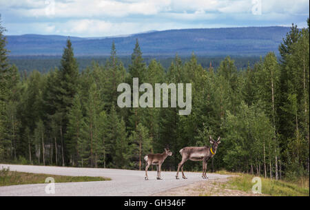 Reindeer on a road in Finish Lapland - Stock Photo