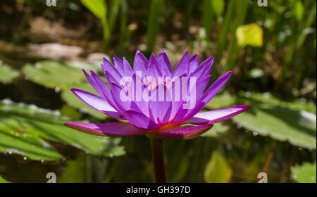 A vibrant purple lily blooming in a pond. - Stock Photo