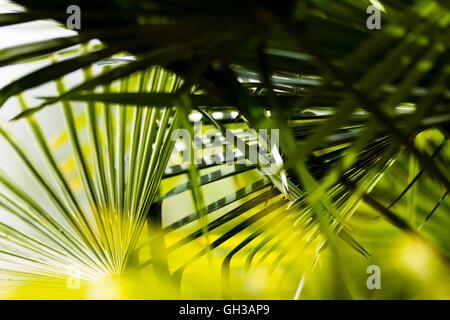 Saw palmetto (Serenoa repens) leaves - Stock Photo