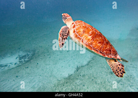 Close Up View of a Young Green Turtle Swimming Underwater, Buck Island National Wildlife Refuge, St Croix, US Virgin - Stock Photo