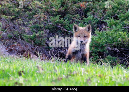 Close Up Frontal View of a Standing Red Fox Pup, Hunterdon County, New Jersey - Stock Photo