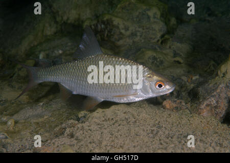 Common rudd or common roach (Scardinius erythrophthalmus) Eastern Europe - Stock Photo