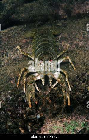 European crayfish, Noble crayfish or Broad-fingered crayfish (Astacus astacus) Eastern Europe - Stock Photo