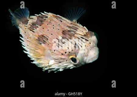 Long-spine porcupinefish, Longspined porcupinefish or Freckled porcupinefish (Diodon holocanthus) Indo-Pacific, - Stock Photo