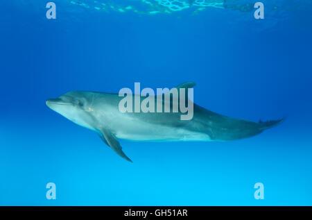 Common bottlenose dolphin, Atlantic bottlenose dolphin or Afalina (Tursiops truncatus) dolphinarium, Odessa, Ukraine - Stock Photo