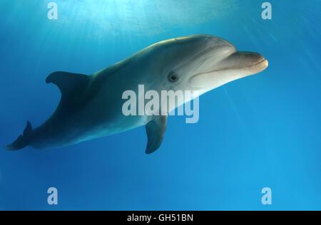 Common bottlenose dolphin, Atlantic bottlenose dolphin or Afalina (Tursiops truncatus) Mediterranean Sea, Greece - Stock Photo