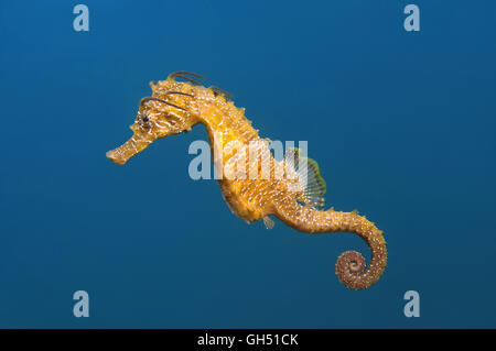 Maned Seahorse or Long-snouted seahorse (Hippocampus guttulatus) swims in the blue water in Black Sea