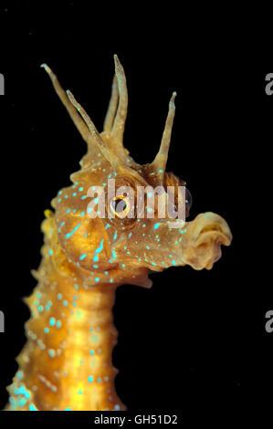 Portrait of a Maned Seahorse or Long-snouted seahorse (Hippocampus guttulatus) Black Sea