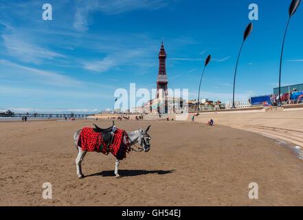Donkey ride on the beach at Blackpool, England - Stock Photo