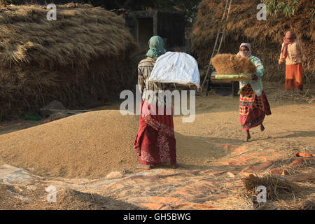 Winnowing. Women threshing paddy. Three women are busy in winnowing husk after harvesting at village in West Bengal, - Stock Photo