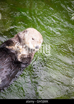 A female sea otter (Enhydra lutris) at the Vancouver Aquarium in Vancouver, British Columbia, Canada. - Stock Photo