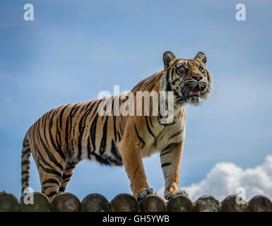 Sumatran tiger standing up high and looking forward with its mouth open and tongue showing - Stock Photo