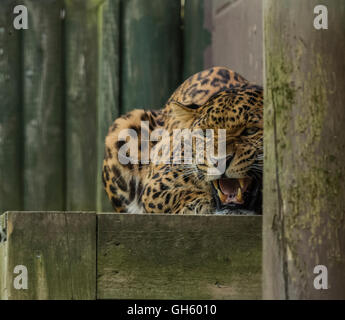 A North Chinese leopard at the Wildlife Heritage Foundation in Kent where it is being used for breeding - Stock Photo