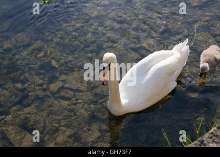 Elegant mother Swan swimming in crystal clear water with baby cygnet - Stock Photo