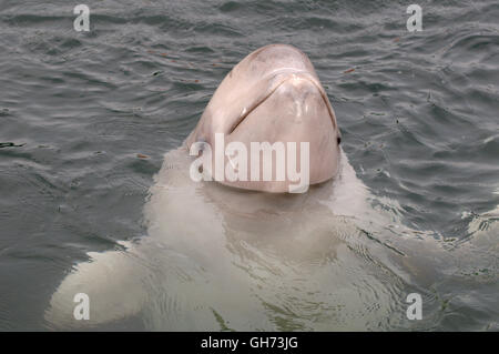 Portrait young Beluga whale or White whale (Delphinapterus leucas) in Northen Pacific Ocean, Far East - Stock Photo