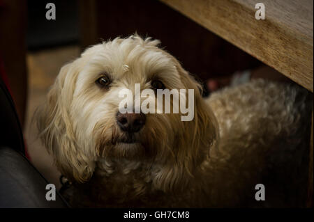 A Cockapoo, a mixed-breed dog. - Stock Photo