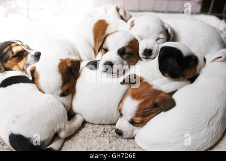 Sleeping puppies on top of each other - Stock Photo