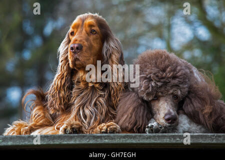 Harlequin poodle and English Cocker Spaniel dog close up in garden - Stock Photo