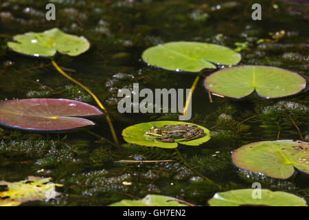 Edible frog / green frog (Pelophylax kl. esculentus / Rana kl. esculenta) sitting on floating leaf of waterlily - Stock Photo