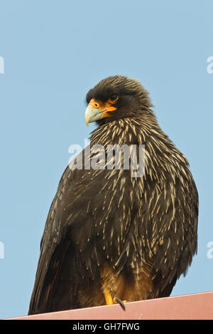 A striated caracara sitting on the roof of a house on New Island in the Falklands - Stock Photo