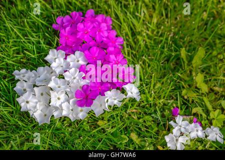 Flower heart, Pink, Garden, summer, Phlox, home, love, white, pure - Stock Photo