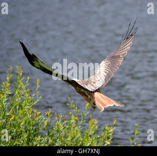 Aberystwyth, Wales, UK. 8th August, 2016. UK Weather - Afternoon sun falls on a wild red kite as it rises from food - Stock Photo