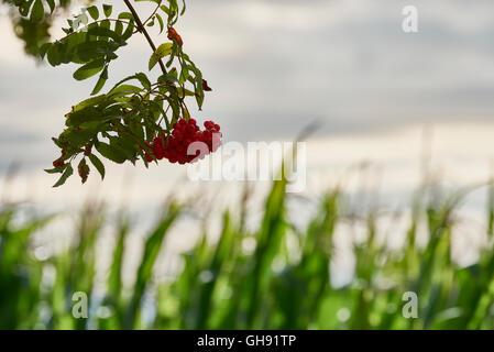 Nature in August: red berries in front of corn field and vivid skies - Stock Photo